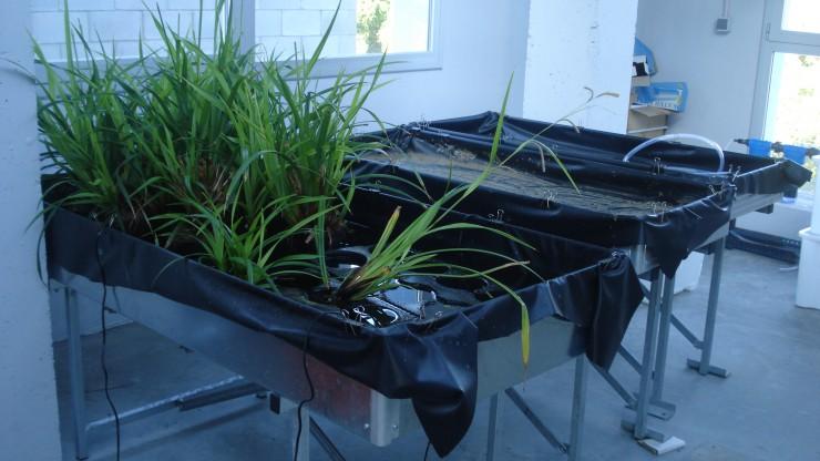 Experiment per avaluar la retenció de nutrients de l'aigua amb plantes aquàtiques d'aigua dolça