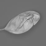 Daphnia sp.