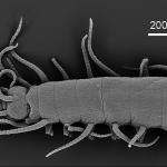 Haplosyllis granulosa