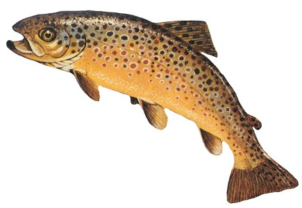 Brown trout. Salmo trutta.