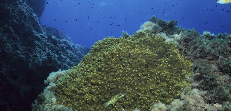 Cambio climático e invasión de especies: efectos y previsión del aumento de la población en un coral mediterráneo