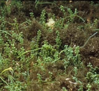 caulerpa-racemosa-stypocaulon-600x400