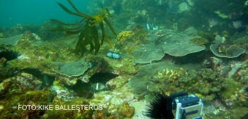 El aumento de la temperatura del agua hace desaparecer los bosques marinos debido a la llegada de peces herbívoros tropicales
