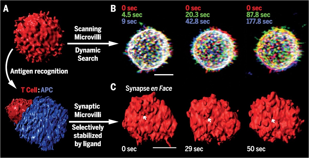 scanning microvilli antigen recognition