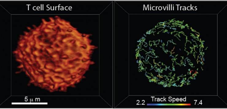 t cell surface and microvilli tracks